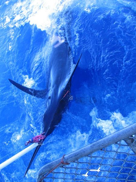 Chad Mills - Blue Lightning Charters - Tagged marlin